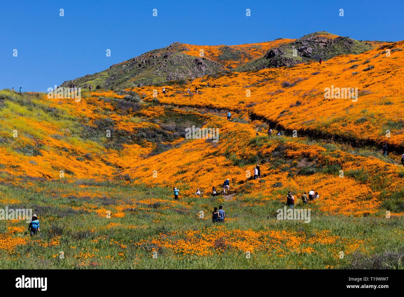 CALIFORINA POPPIES (Eschscholzia californica) cover the hillsides during a super bloom near LAKE ELSINORE, CALIFORNIA - Stock Image