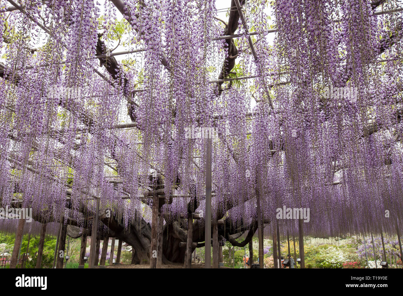 Structurally Supported Purple Wisteria Tree In Full Bloom At Ashikaga Flower Park Japan Stock Photo Alamy