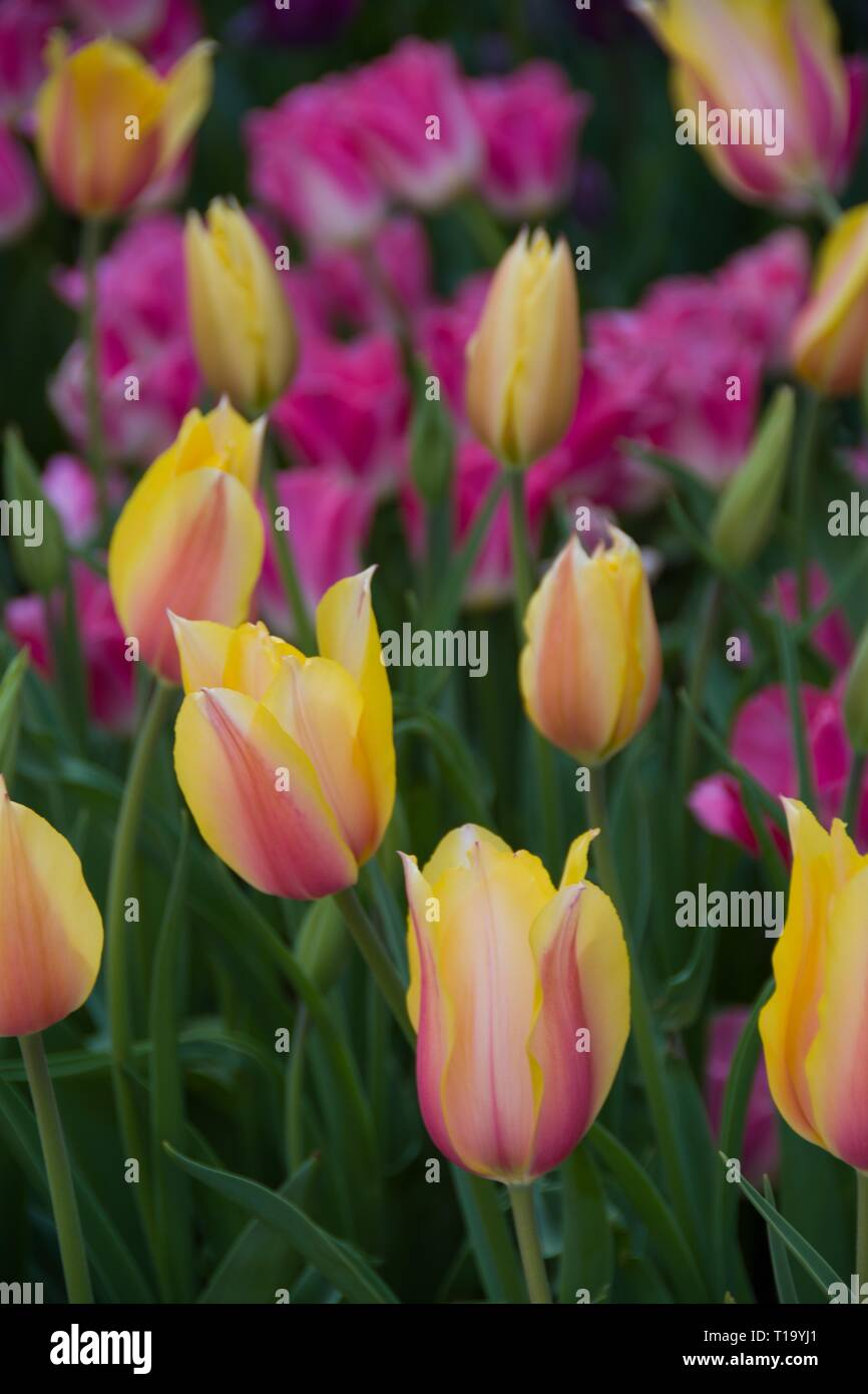 It's Tulip Mania Time! Closeup of stunning yellow and pink tulips at peak bloom at Descanso Gardens, La Cañada Flintridge, California. March 24, 2019. - Stock Image