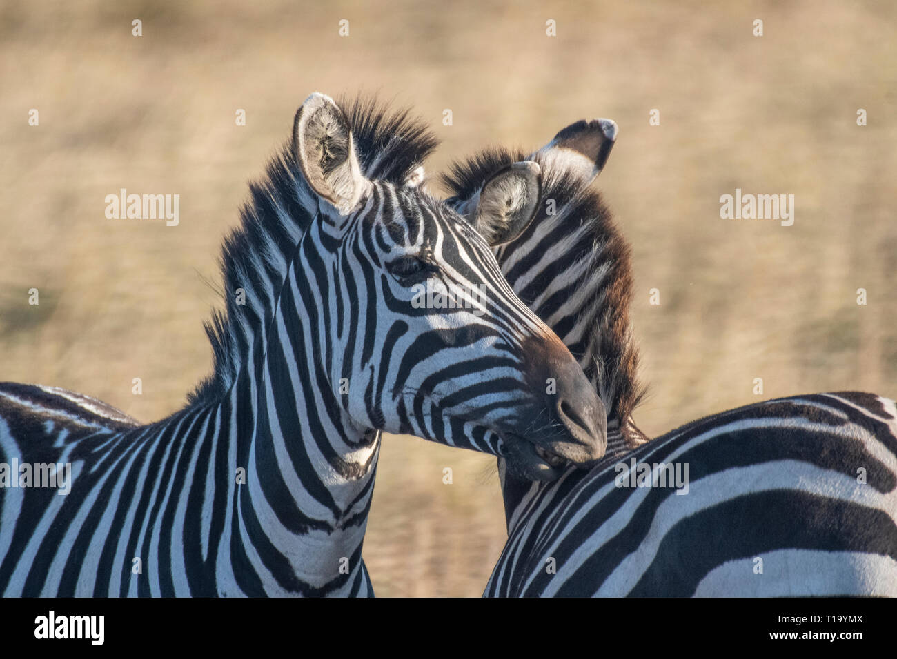 Male and female zebra making love in Maasai Mara triangle during migration season - Stock Image