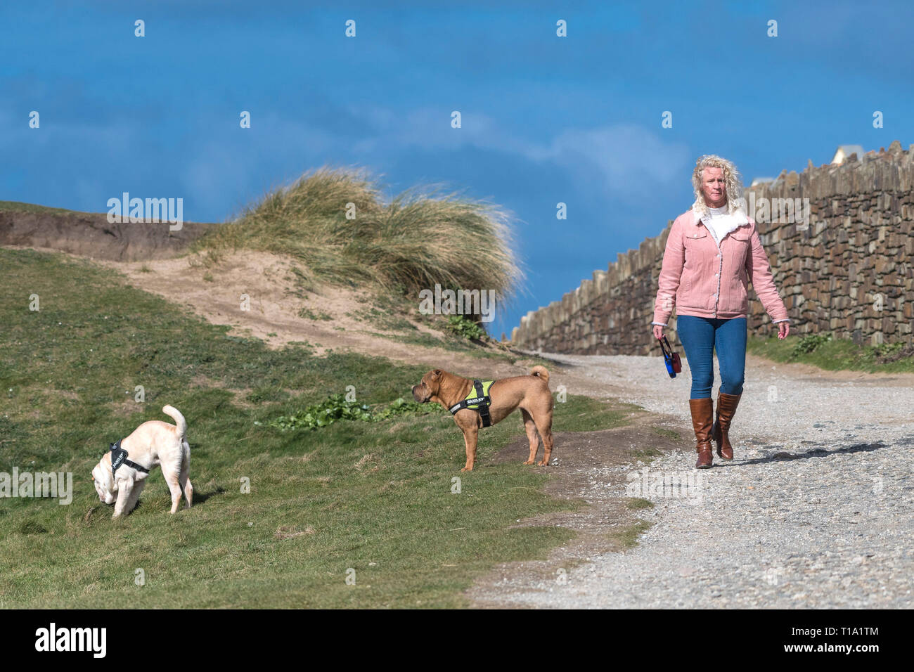 A woman walking her pedigree Shar-Pei dogs along a footpath in Cornwall. - Stock Image