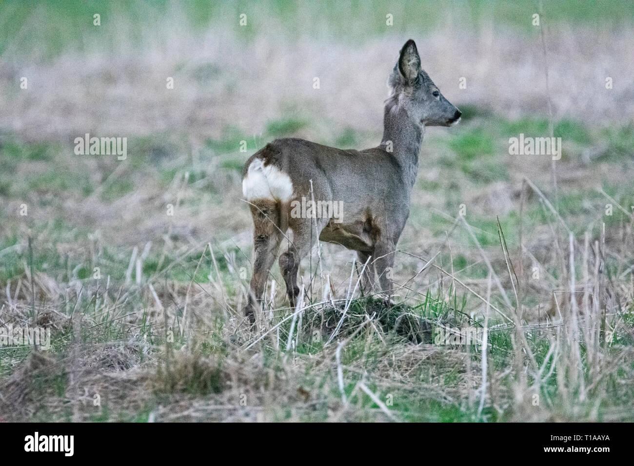 Little deer watching for enemies - Stock Image