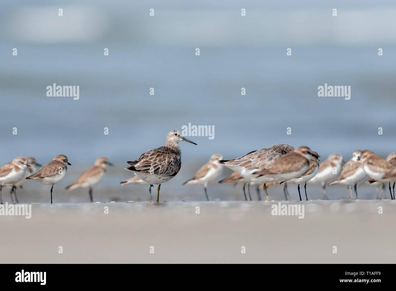 Ruff in Non breeding Plumage at Akshi Beach,Maharashtra,India - Stock Image