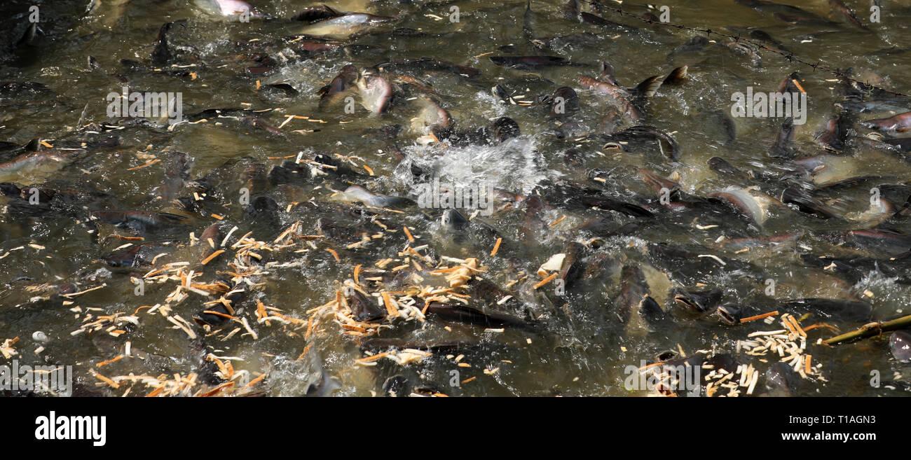 Fish in the river Chao Praya in Bangkok Stock Photo