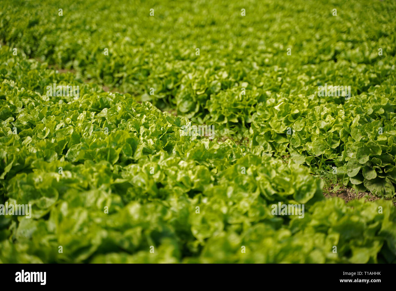 Salad on a field - Stock Image