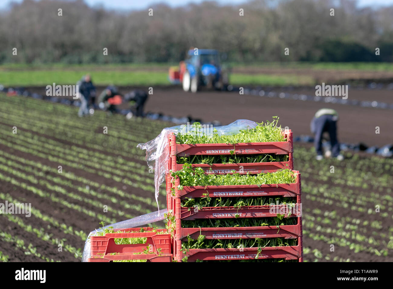 Tarleton, Lancashire. 25th March, 2019. UK Weather. Spring planting of lettuce as Eu migrant seasonal labourers return to 'The Salad Bowl' of Lancashire to assist with the springtime planting of various varieties of lettuce seedlings.  These early crops will likely then are covered in agricultural fleece for a week or so to protect against frost. Credit. MediaWorldImages/AlamyLiveNews - Stock Image