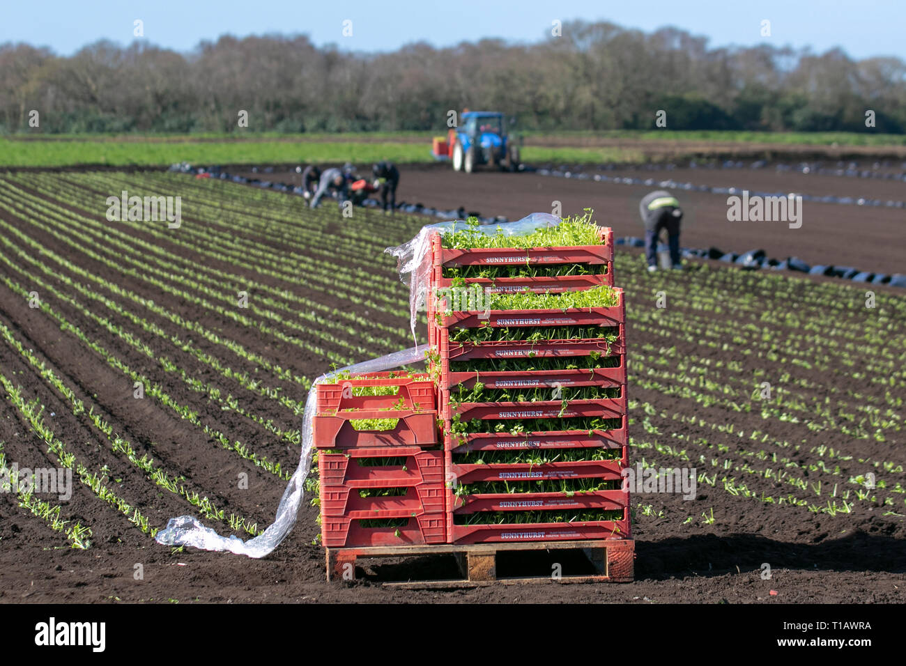 Tarleton, Lancashire. 25th March, 2019. UK Weather. Spring planting of lettuce as Eu migrant labourers return to 'The Salad Bowl' of Lancashire to assist with the springtime planting of various varieties of seedlings.  These early crops will likely then are covered in agricultural fleece for a week or so to protect against frost. Credit. MediaWorldImages/AlamyLiveNews - Stock Image