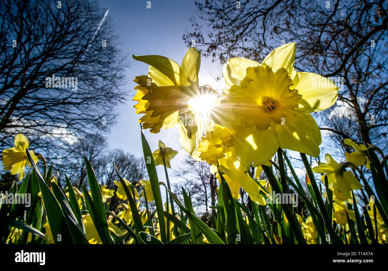 Bolton, Lancashire, UK. 25th March, 2019. Glorious Spring sunshine in Queen's Park, Bolton, Lancashire. A perfect start to the week as blue skies and warm sunshine are expected to continue until the weekend in the North West of England. Daffodils bask in the sunshine under clear blue skies in the park. Picture by Credit: Paul Heyes/Alamy Live News Stock Photo