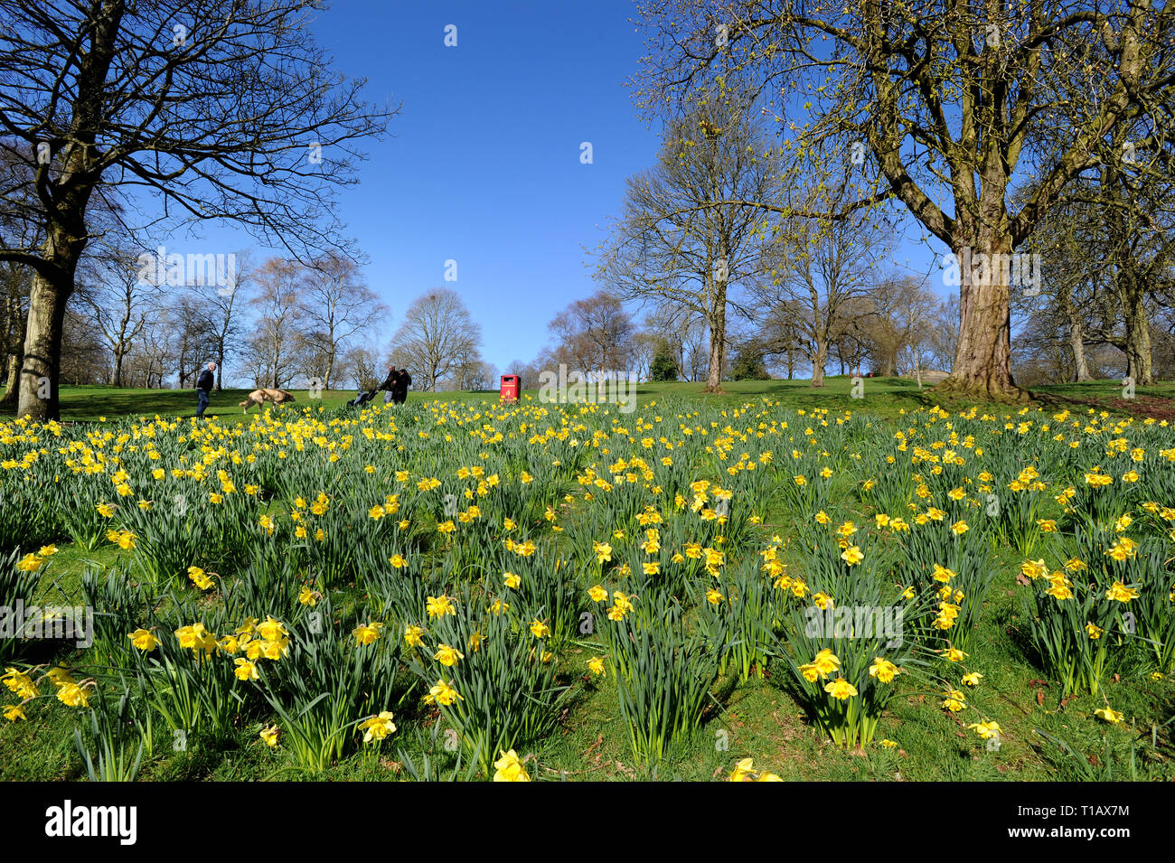 Bolton, Lancashire, UK. 25th March, 2019. Glorious Spring sunshine in Queen's Park, Bolton, Lancashire. A perfect start to the week as blue skies and warm sunshine are expected to continue until the weekend in the North West of England. Walkers pass by the golden crop of daffodils in the park under blue skies. Picture by Credit: Paul Heyes/Alamy Live News Stock Photo