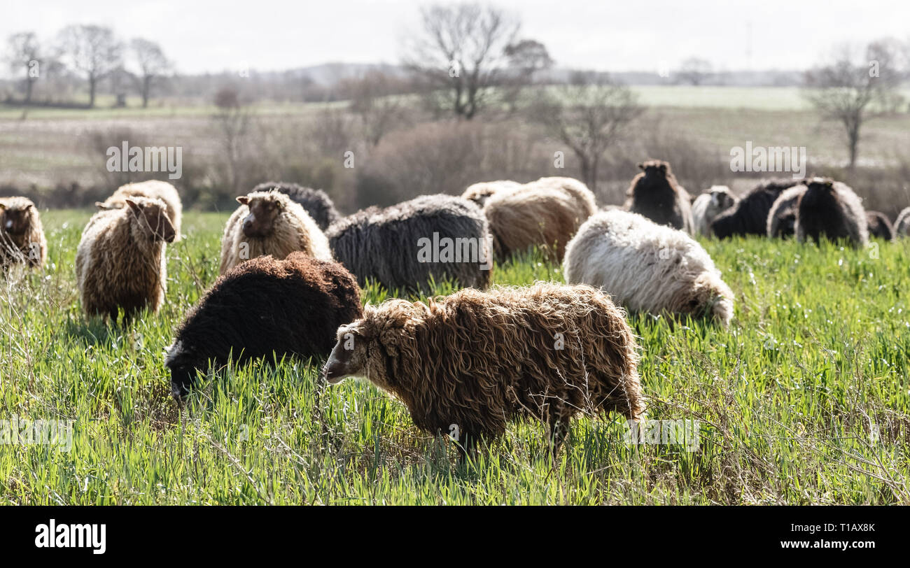 Fahrdorf, Germany. 25th Mar, 2019. Sheep graze in a field by the Schlei. At a press event, the Federal Association of Shepherds will present a mobile system for laying wolf-repellent fences Credit: Markus Scholz/dpa/Alamy Live News - Stock Image