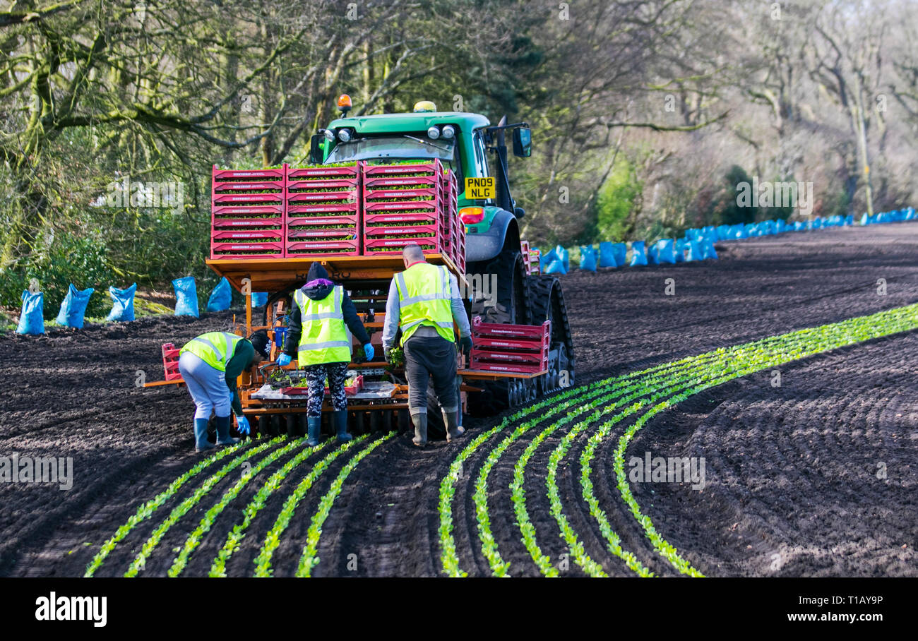 Rufford, Lancashire. 25th March, 2019. UK Weather. Spring planting of lettuce as Eu migrant labourers return to 'The Salad Bowl' of Lancashire to assist with the springtime planting of various varieties of seedlings. The automatIc tractor driven planter is followed by workers who reset any wayward plants. These early crops of Little Gem Lettuce will likely then be covered in agricultural fleece for a week or so to protect against frost. Credit: MediaWorldImages/AlamyLiveNews - Stock Image