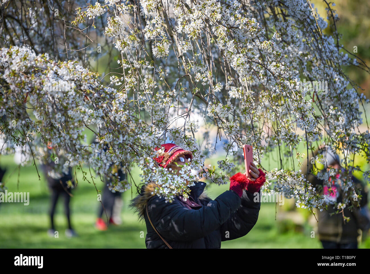 Brighton, UK. 25th Mar, 2019. Visitors enjoy the beautiful Spring sunshine and tree blossom in Pavilion Gardens today as the weather is forecast to warm up throughout Britain over the next few days Credit: Simon Dack/Alamy Live News Stock Photo