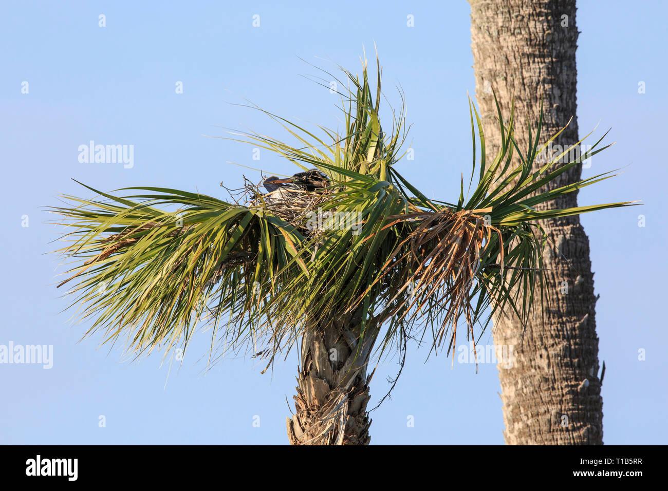 Anhinga (Anhinga anhinga) at nest in palm tree. - Stock Image