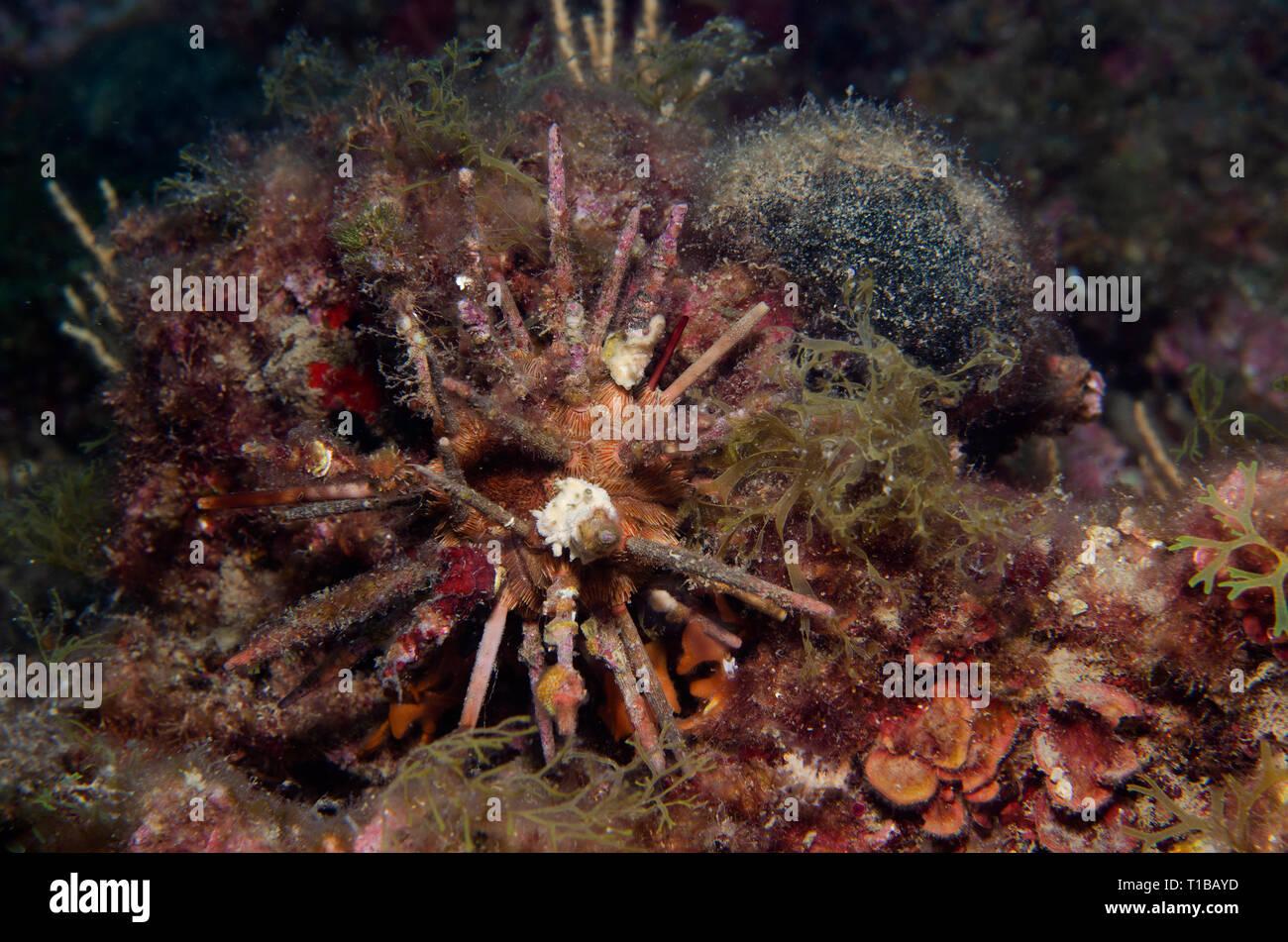Red Lance Urchin, Stylocidaris affinis, Cidaridae, Tor Paterno Marine Protected Area, Rome, Italy, Mediterranean Sea - Stock Image