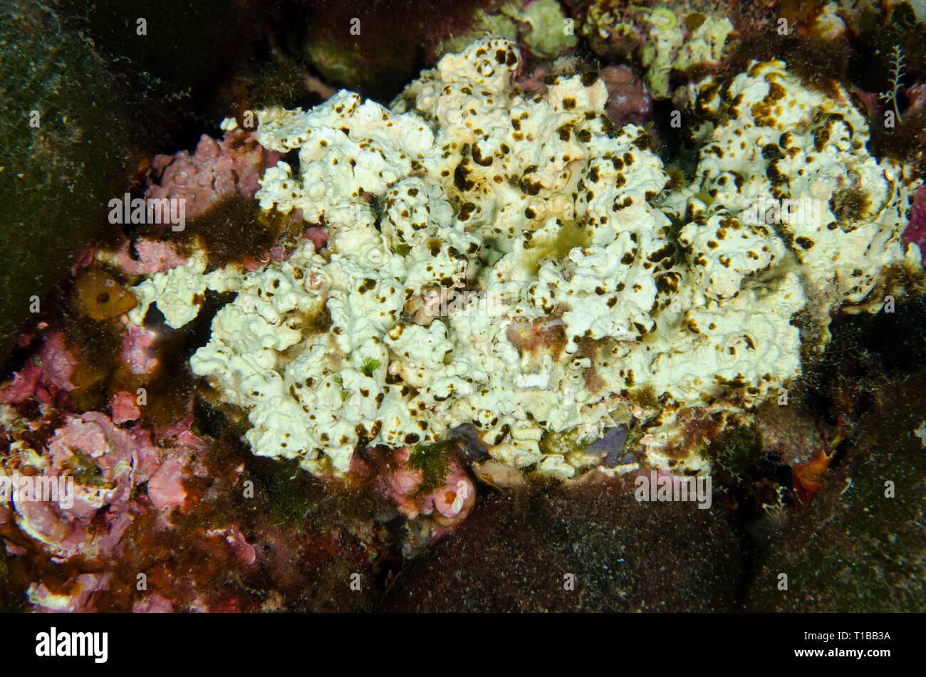 Demospongiae, Ircina variabilis, Irciniida,  Tor Paterno Marine Protected Area, Rome, Italy, Mediterranean Sea - Stock Image