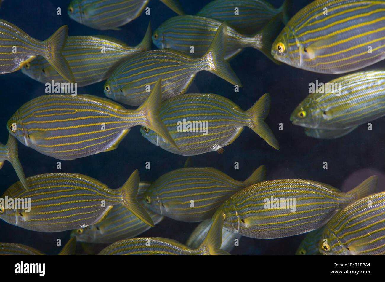 Salema, Sarpa sarpa, Sparidae, Tor Paterno Marine Protected Area, Rome, Italy, Mediterranean Sea - Stock Image