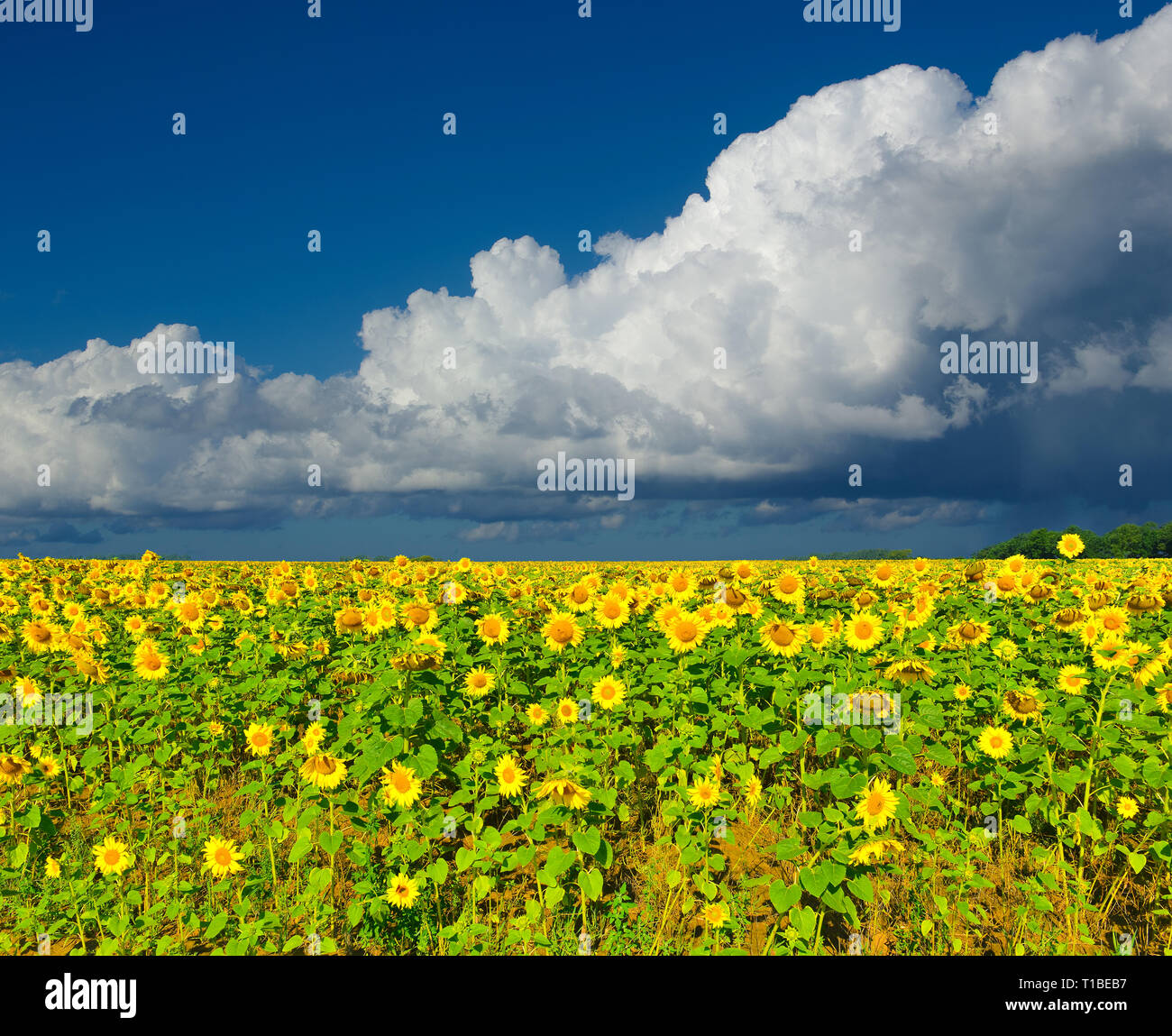 View of sunflower field in summer countryside.Rural landscape with cultivated plant and squall line - Stock Image