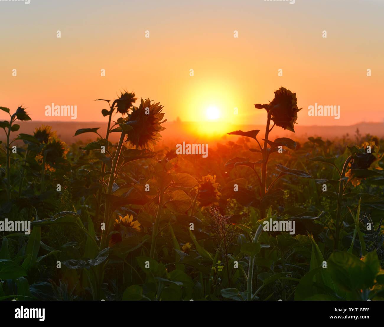 Rising sun above sunflower field - Stock Image