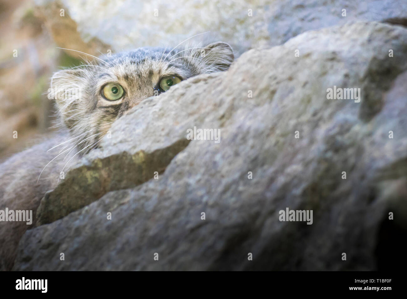 Manul cat (otocolobus manul) looking at camera from behind a rock.  Close up portrait with copy space. - Stock Image