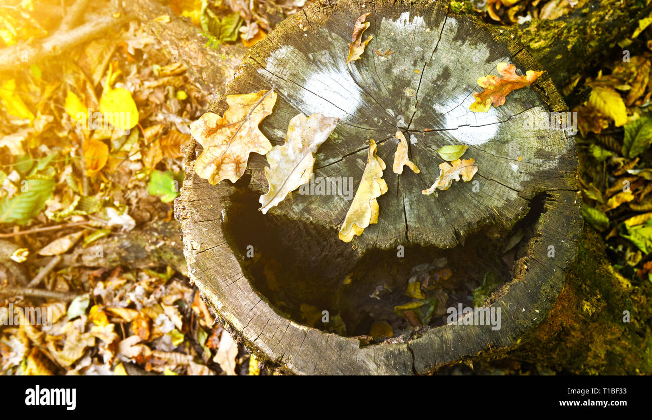 Smiling stump with warm sunlight in the autumn.Background of funny smile in the autumn. - Stock Image