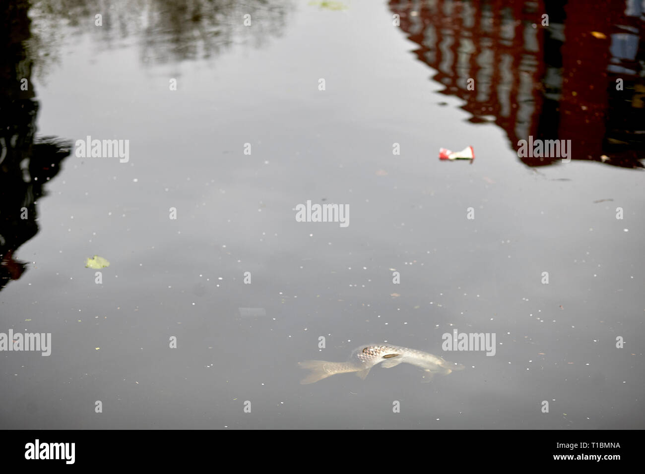 Dead fish at hackney wick canal, pollution - Stock Image