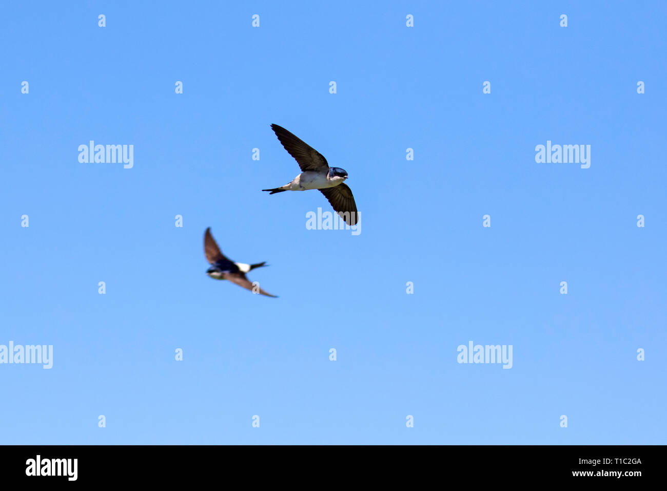 Two common house martins / northern house martin (Delichon urbicum) in flight against blue sky - Stock Image