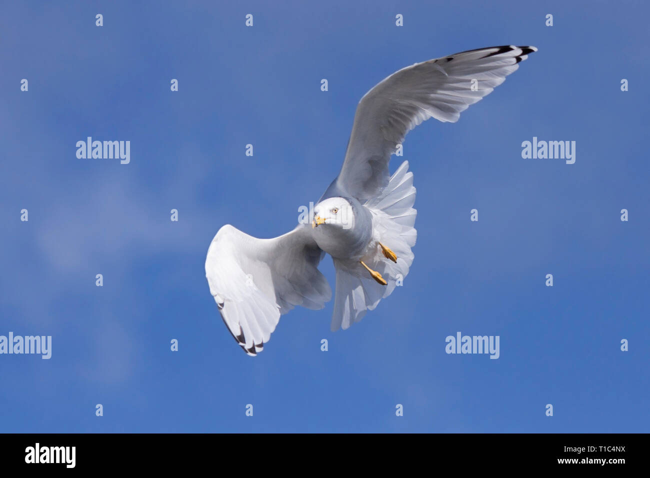A ring-billed gull folds and curves its wings to ride the wind currents in the blue sky. Stock Photo