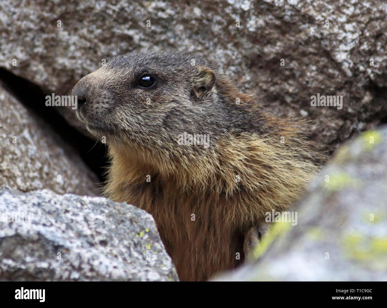 Alpine Marmot (marmota marmota), Alps, Italy - Stock Image