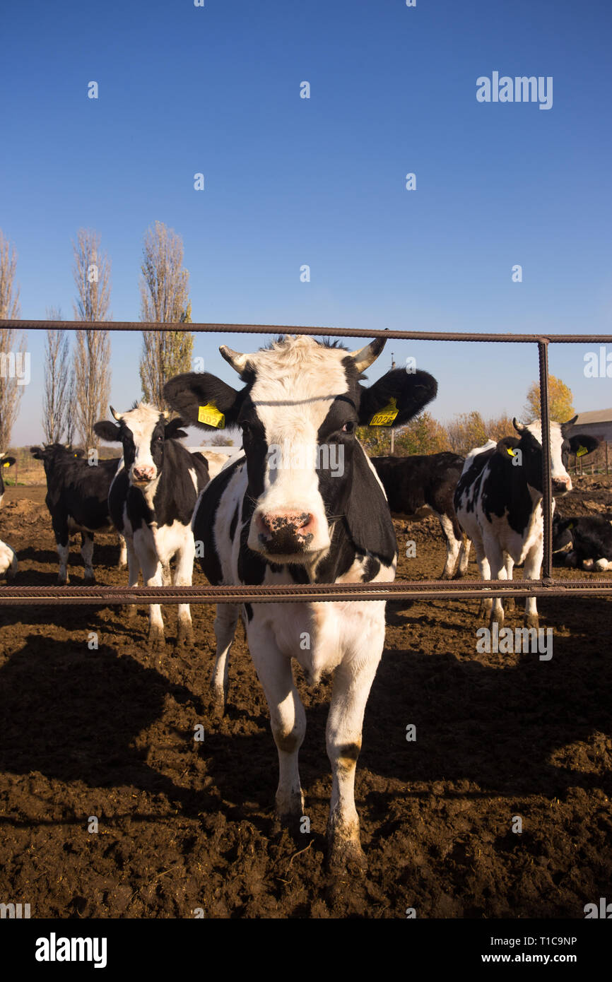 Young black and white cows on an open-air farm. Organic farming without the use of automation on the territory of the post Soviet and Eastern Europe.  - Stock Image