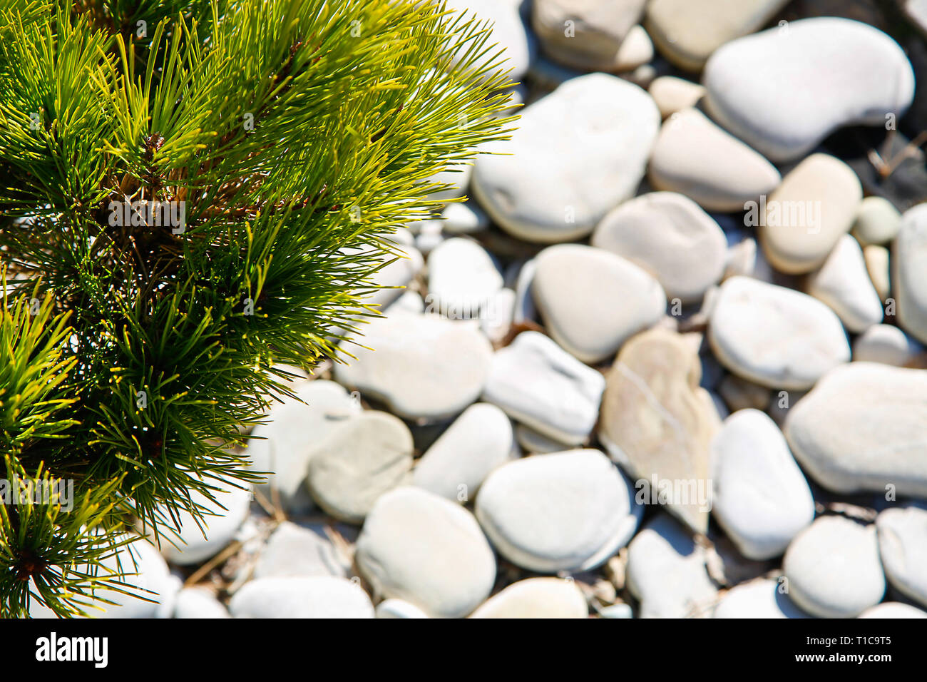 Evergreen coniferous tree on a blurred background of pebbles.Texture.Background. - Stock Image