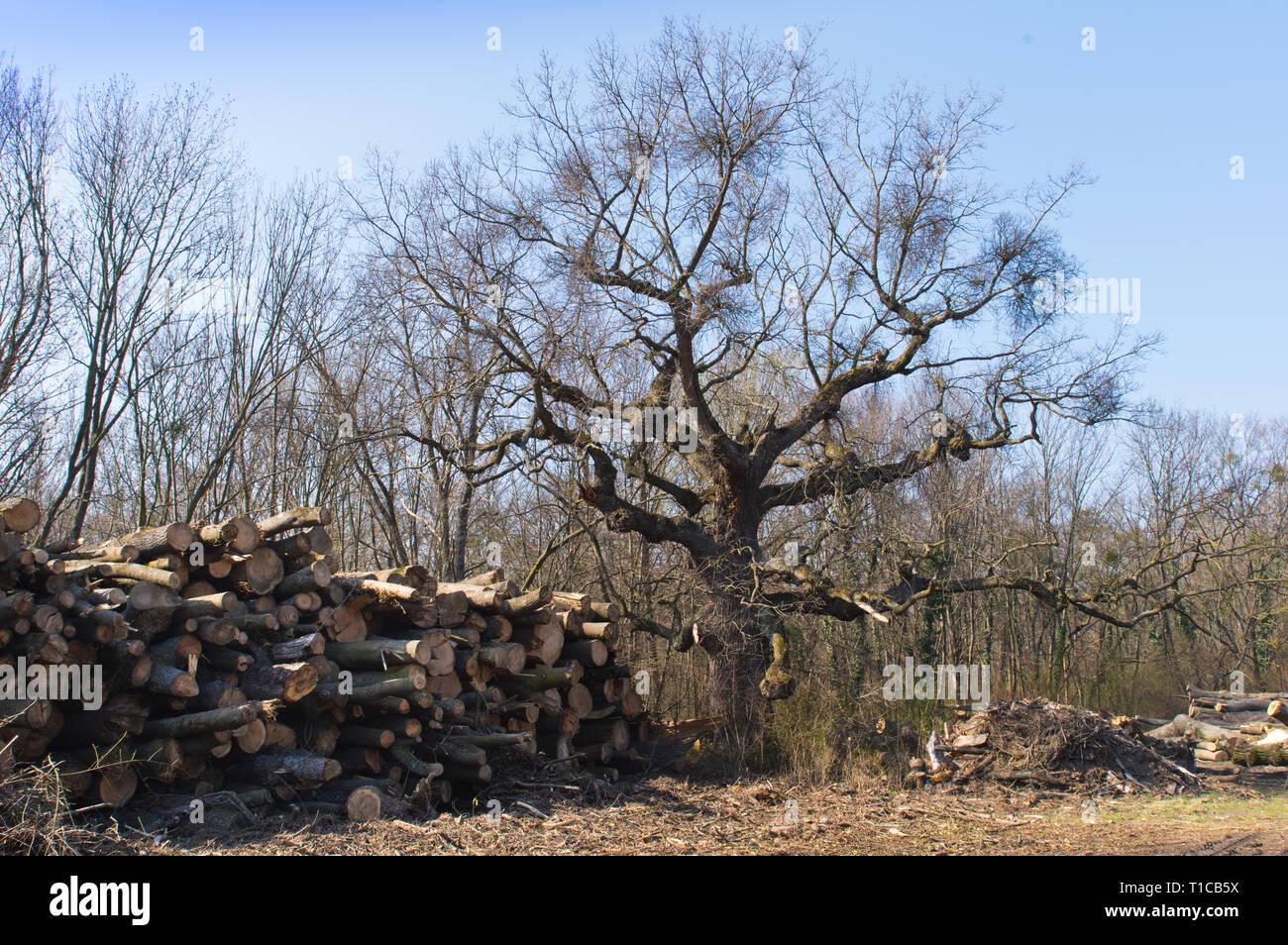 Die Zukunft des alten Baums Stock Photo