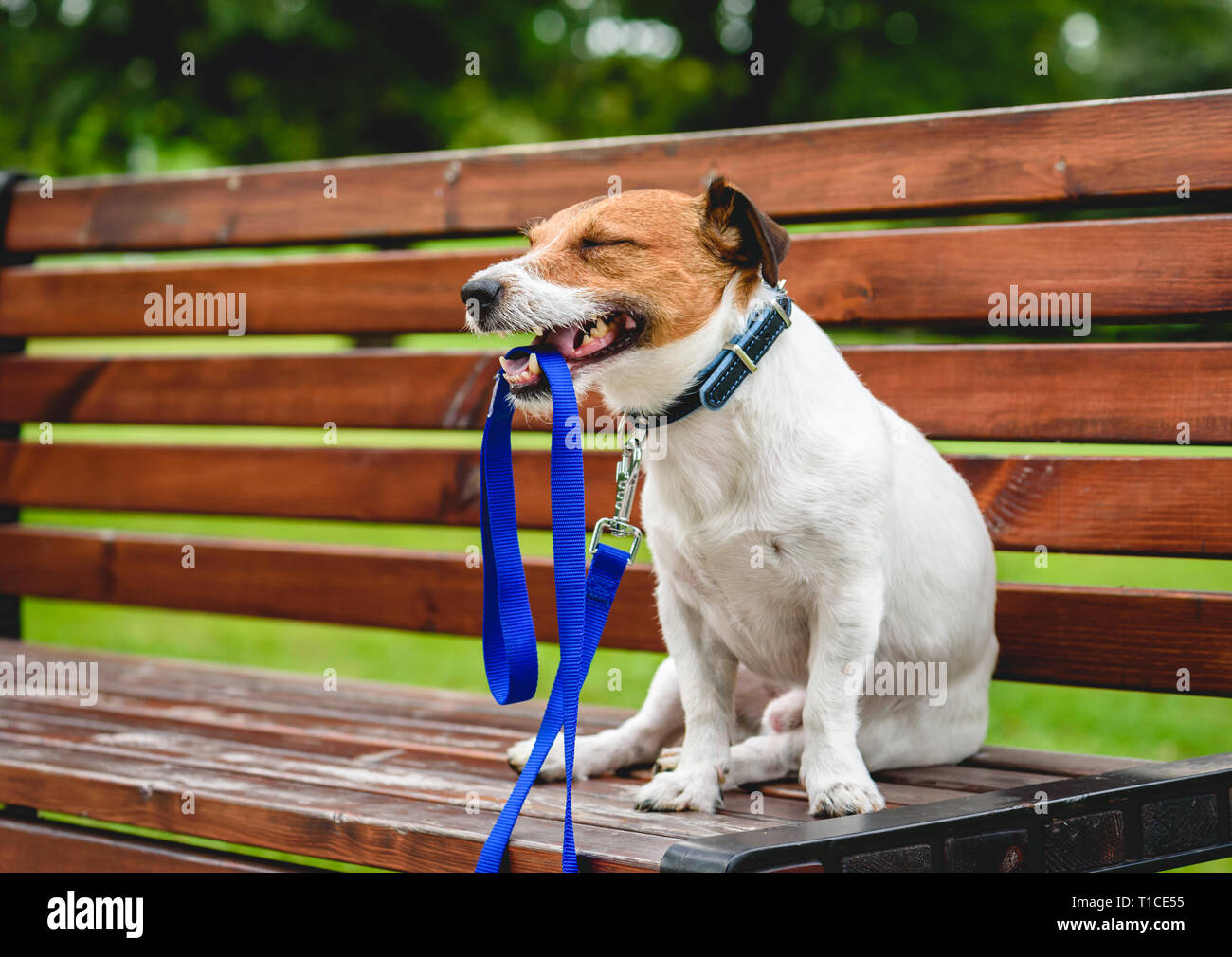 Happy dog walking in park sitting on bench and holding leash in mouth - Stock Image