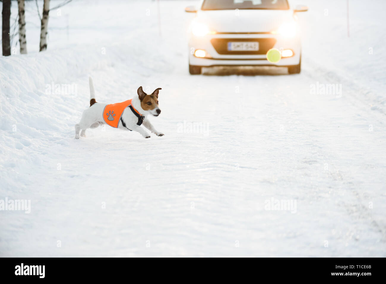 Road safety concept with dog wearing reflective vest runs at slippery roadway after ball in front of car - Stock Image