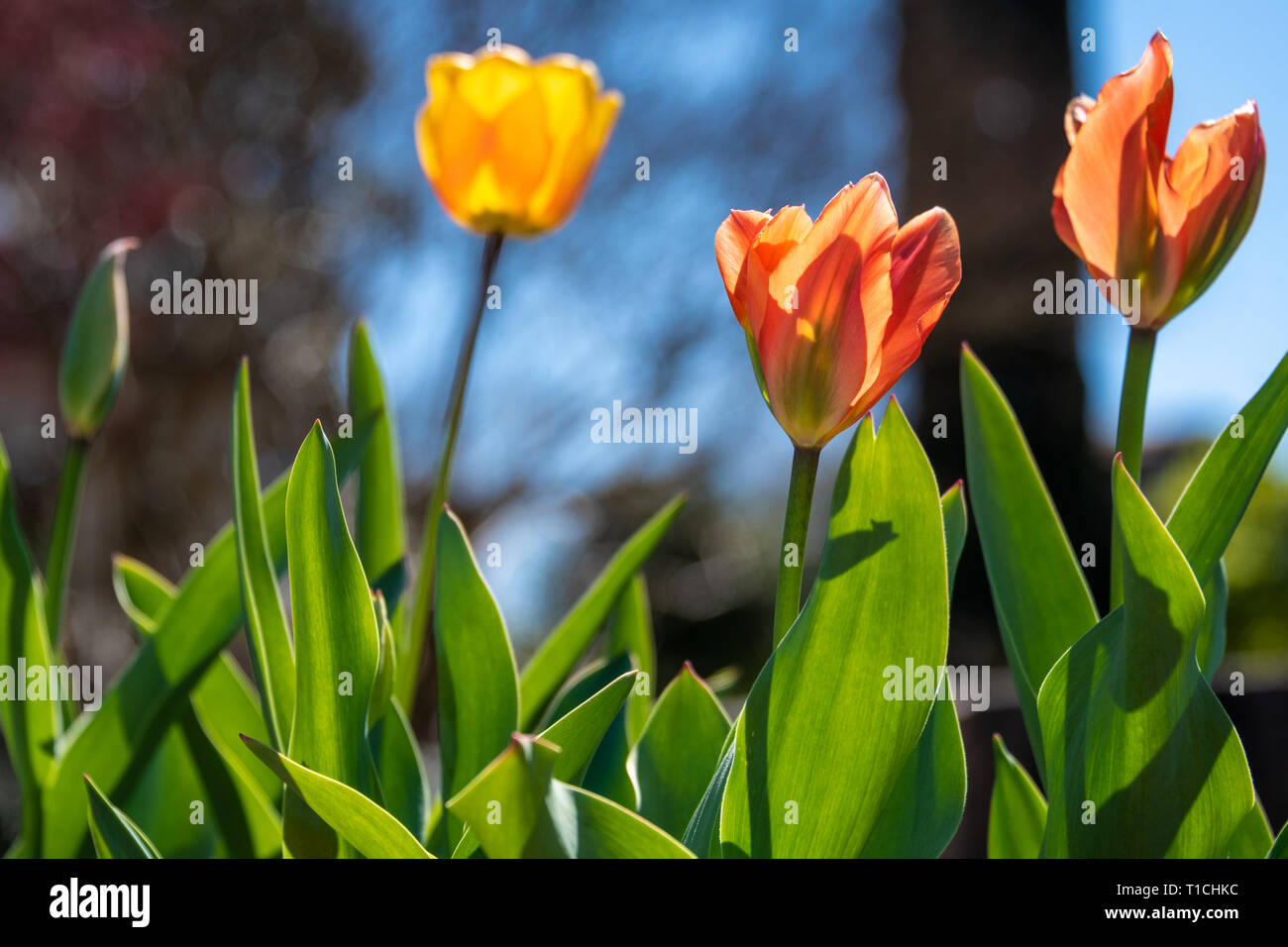 Colorful tulips blooming in early spring at the historic Oakland Cemetery in Atlanta, Georgia. (USA) Stock Photo