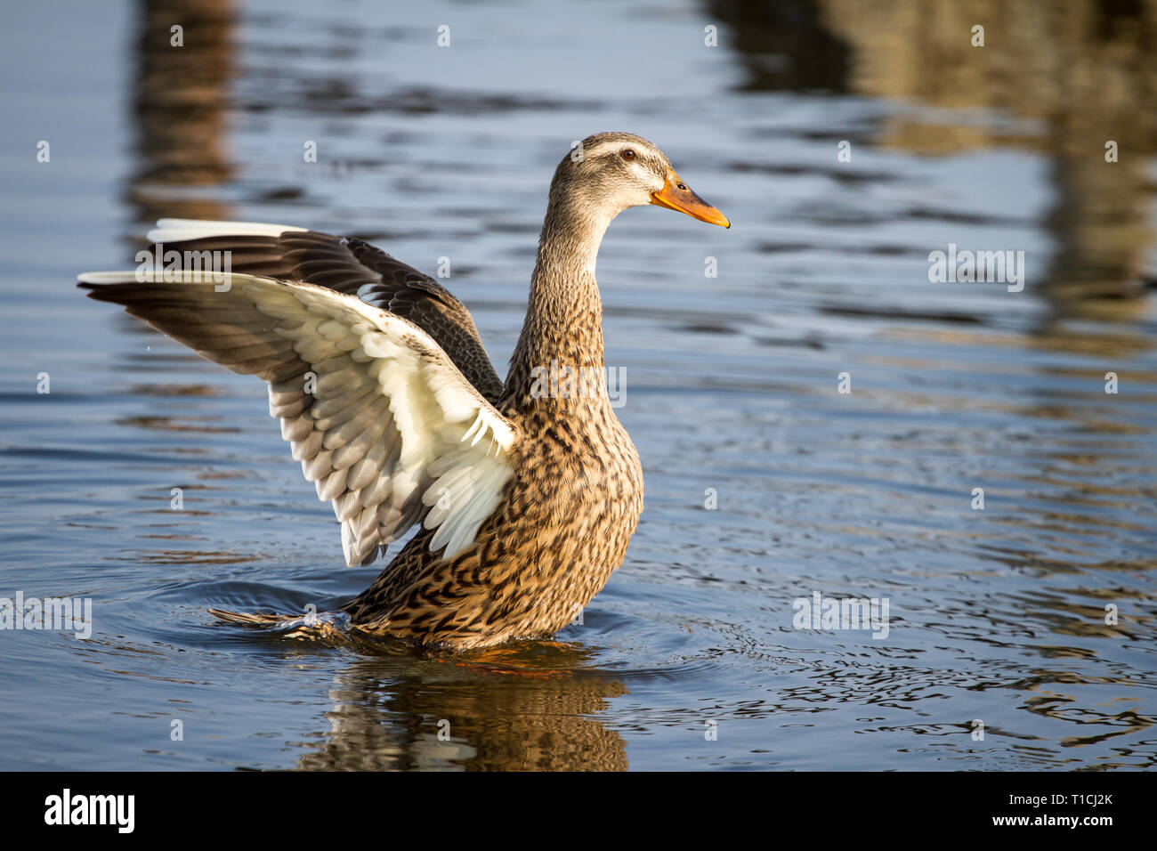 Female duck flapping wings (Anatidae) - Stock Image