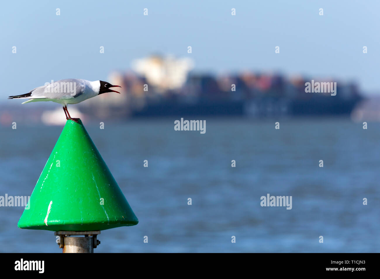 seagull,crying,calling,MSC,Asya,The Solent,off,Cowes,Isle of Wight,Southampton,Container,Ship,Terminal,England, UK,, - Stock Image