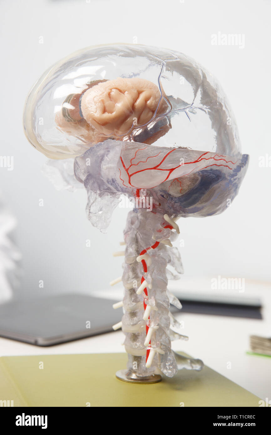 3D model of human brain with spinal cord. Dementia, alzheimers, brain stroke, brain disease and anatomy concept. - Stock Image