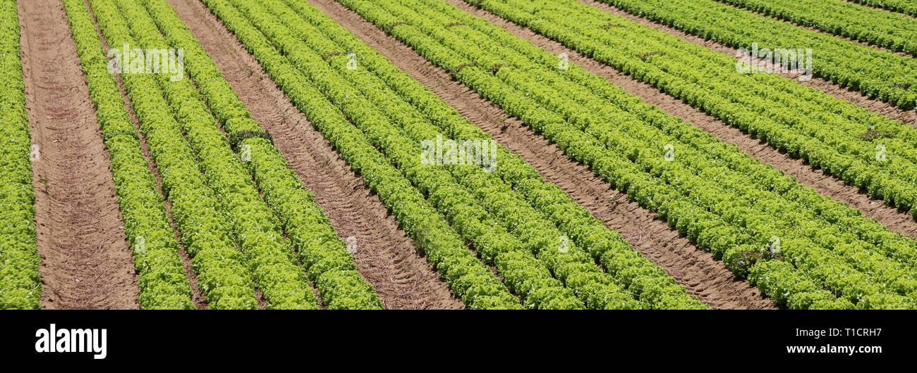 lettuce field in an intensive farming plantation Stock Photo