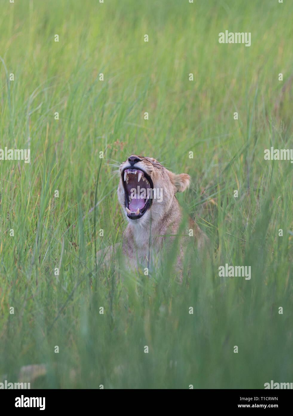 Lion yawning, botswana, okavango delta - Stock Image