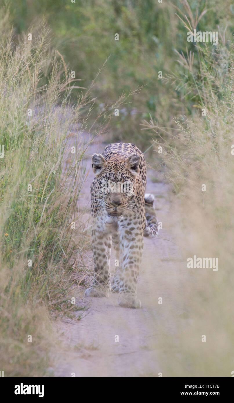 Leopard walking through grass, Botswana, Okavango Delta - Stock Image
