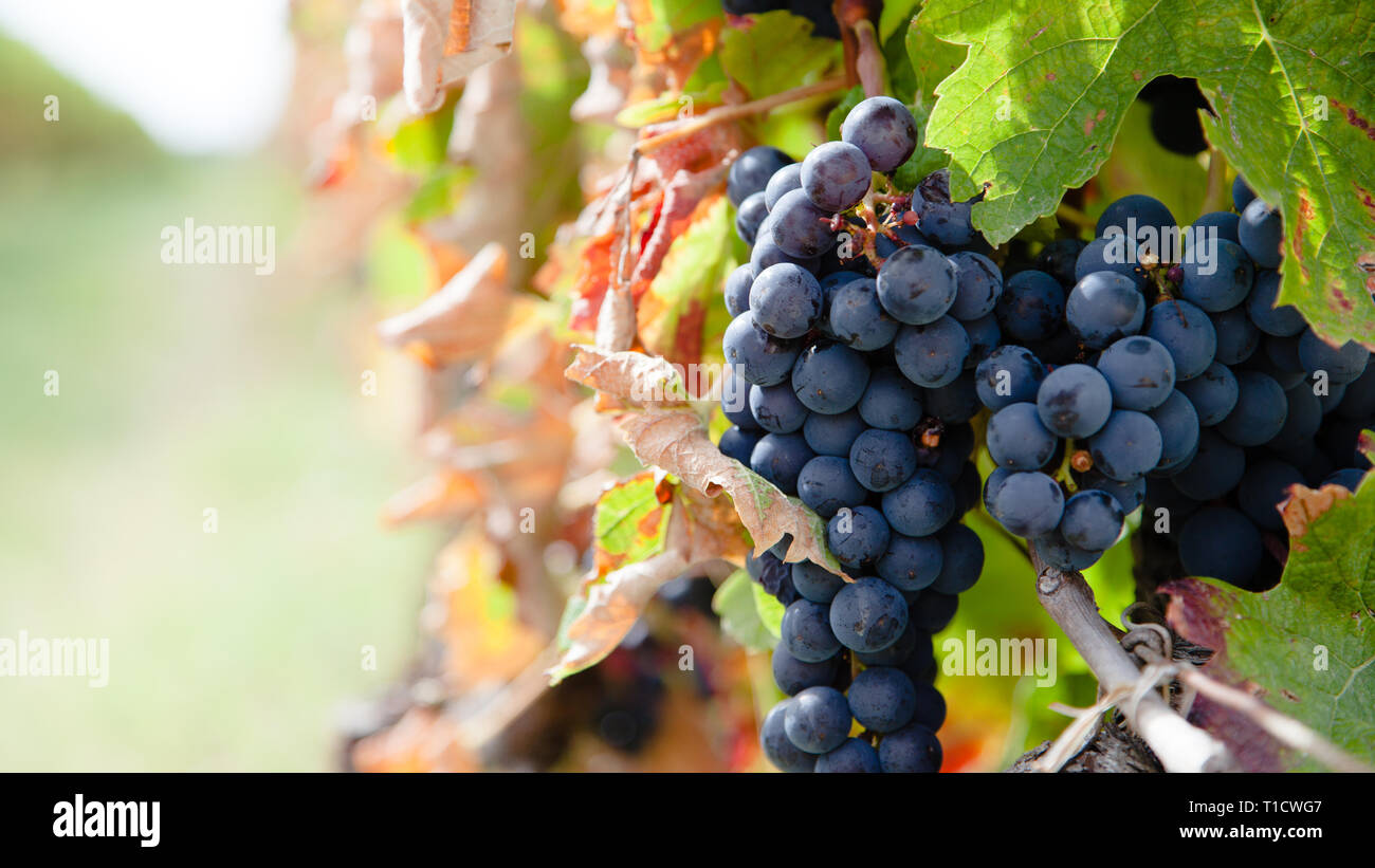 Close up on red grapes in a vineyard in late summer short before harvest. Stock Photo