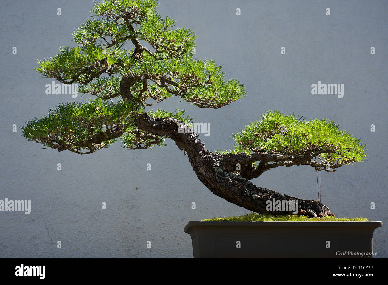 Page 2 Japanese Black Pine High Resolution Stock Photography And Images Alamy