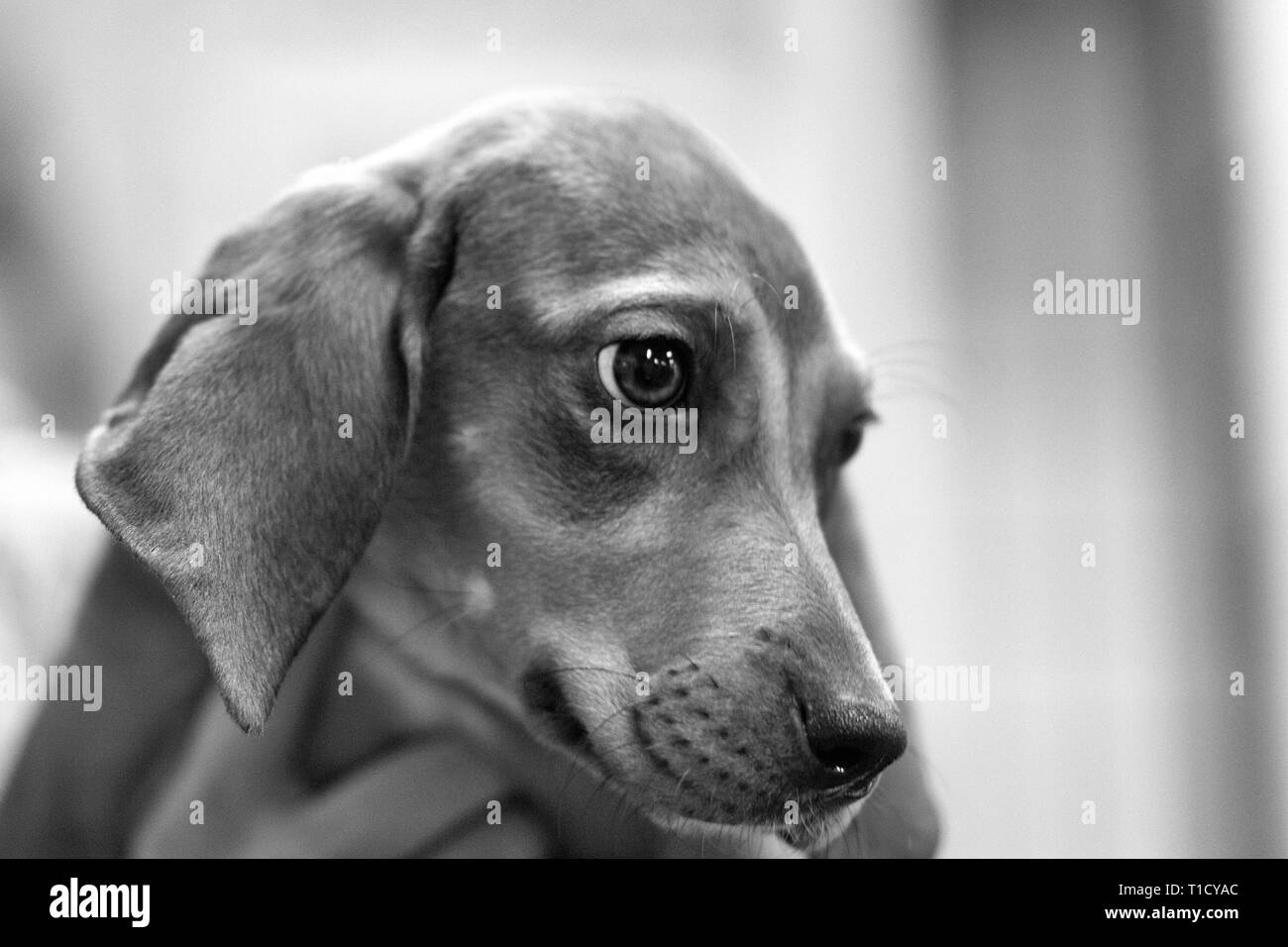 Close-up of a big-eyed dachshund puppy - Stock Image