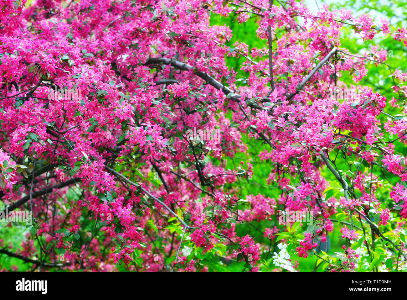 Trees in bloom in spring garden in sunny day. Fruit tree with  branches full of pink blossom. - Stock Image