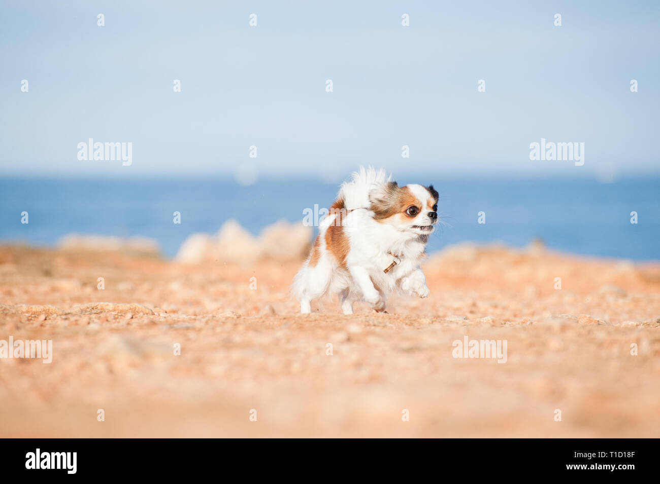 funny little chihuahua pet dog running fast on ground on sea background outdoor leisure - Stock Image