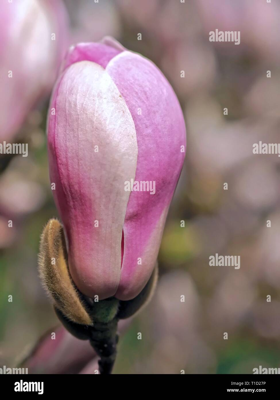 Beautiful pink blooming magnolia flowers in spring Stock Photo