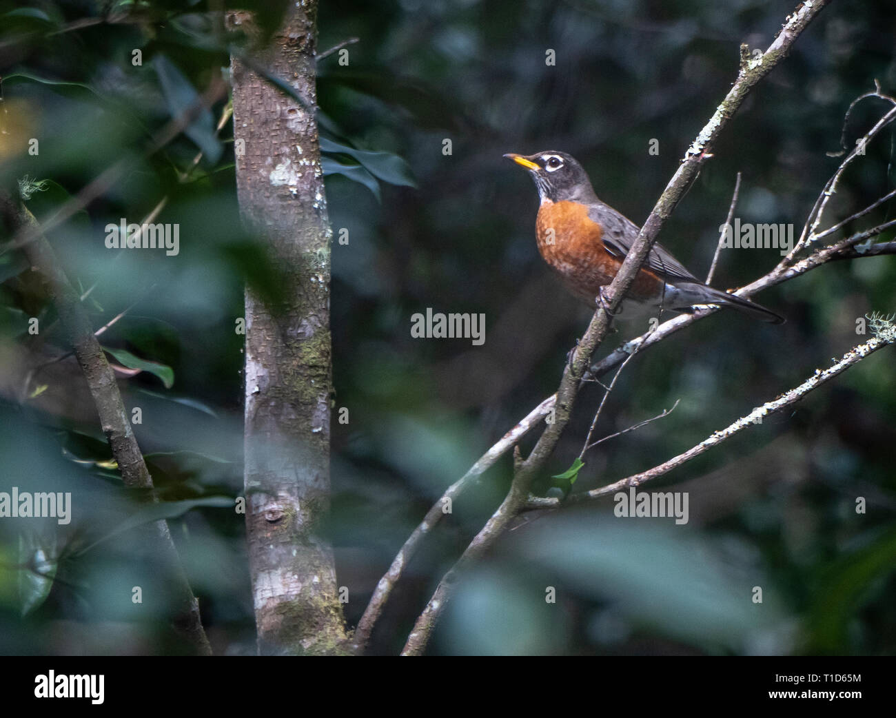 Migrating Robin bird perched on laurel cherry tree - Stock Image