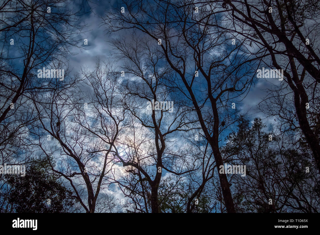 Cloudy moonlit night sky silhouettes bare Hickory tree skeletons - Stock Image