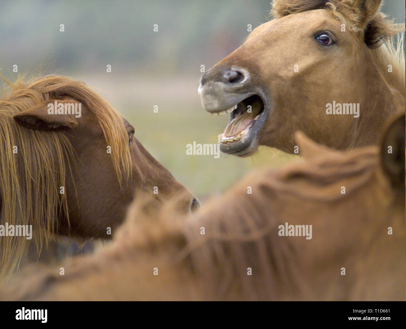 Two Spanish Mustang mares having an argument with teeth