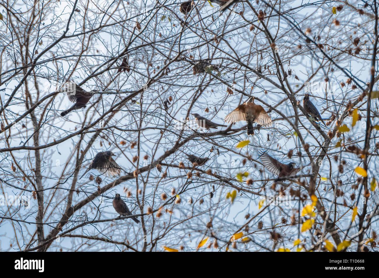 Flock of migrating Robin birds in budding winter tree - Stock Image
